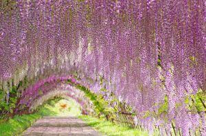 Tunnel de Wisteria: splendide balade olfactive