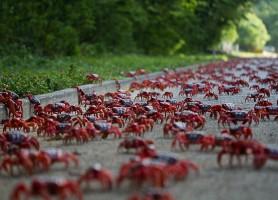 Île Christmas : la migration des crabes rouges