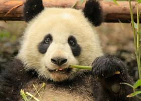 Sanctuaires des Pandas géants: une réserve unique en son genre!