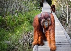 Parc national Tanjung Puting: le précieux sanctuaire des primates