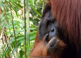 Réserve de Semenggoh: une réserve à orangs-outans et d'attractions
