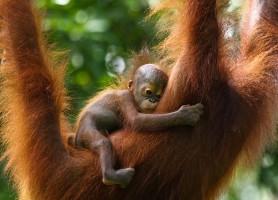 Sanctuaire des orangs-outans de Sepilok: le fameux homme sauvage