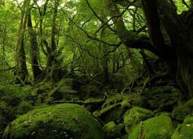 Forêt de Yakushima: une forêt vierge aux valeurs sémillantes