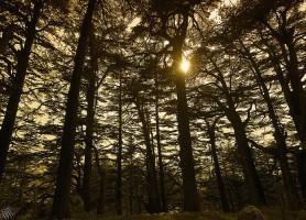 Cèdres de Dieu: découvrez ce symbole du Liban