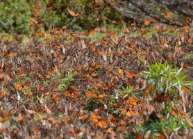 Réserve du papillon monarque: sanctuaire des papillons migratoires