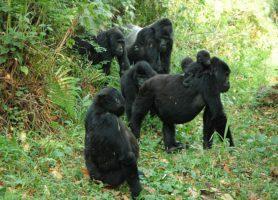 Forêt de Bwindi: au cœur de la plus luxuriante forêt ougandaise