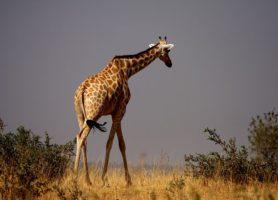 Réserve de girafe de Kouré: l'ultime refuge de la girafe peralta