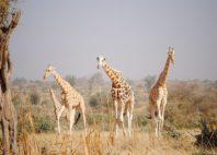 Réserve de girafe de Kouré