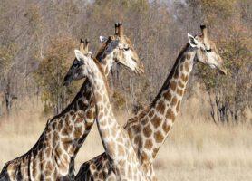 Mahango: une aventure parsemée d'une kyrielle d'attractions