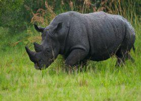 Réserve de rhinocéros de Ziwa: sur les traces d'un géant de la savane