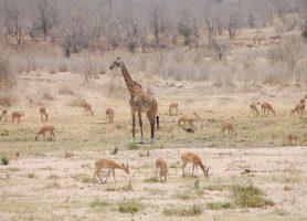 Parc national de Ruaha: au cœur d'une parfaite symbiose