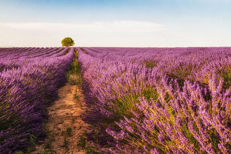 Plateau de Valensole : Les plus beaux champs de lavande au monde !