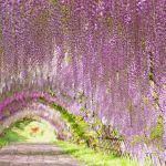 Tunnel de Wisteria