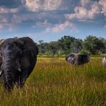 La « Game Reserve » de Moremi