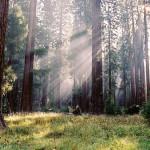 Le parc national de Sequoia