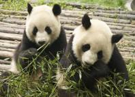Sanctuaires des Pandas géants