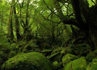 Forêt de Yakushima