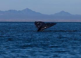 El Vizcaíno: au cœur du sanctuaire des baleines grises!