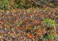 Réserve du papillon monarque