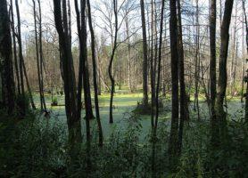 Forêt de Białowieża: une réserve extraordinaire
