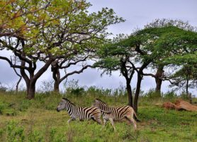 Hluhluwe-Umfolozi: l'eldorado des rhinocéros blancs