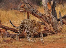 Okonjima: un remarquable centre de conservation des carnivores