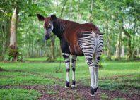 Réserve de faune à okapis